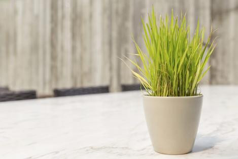 Lemongrass Mood Boosting Plants