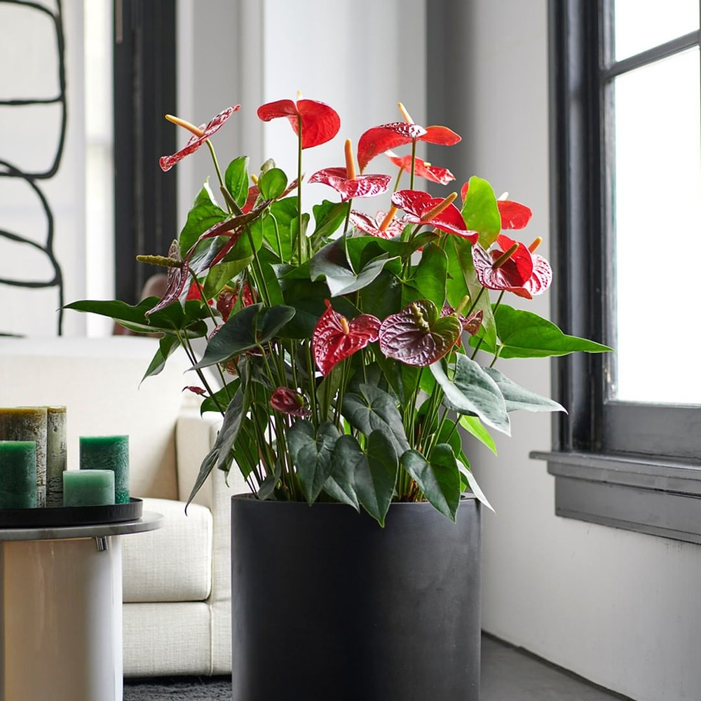 Low Light Houseplant Anthurium