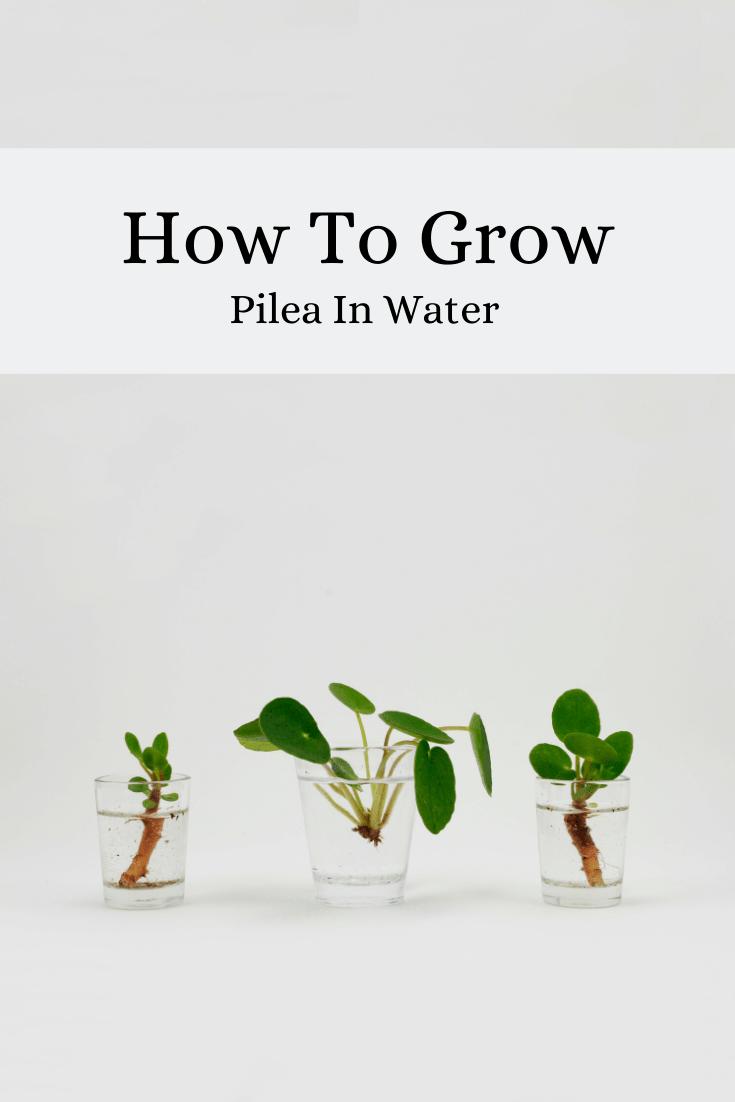 How To Grow Pilea In Water