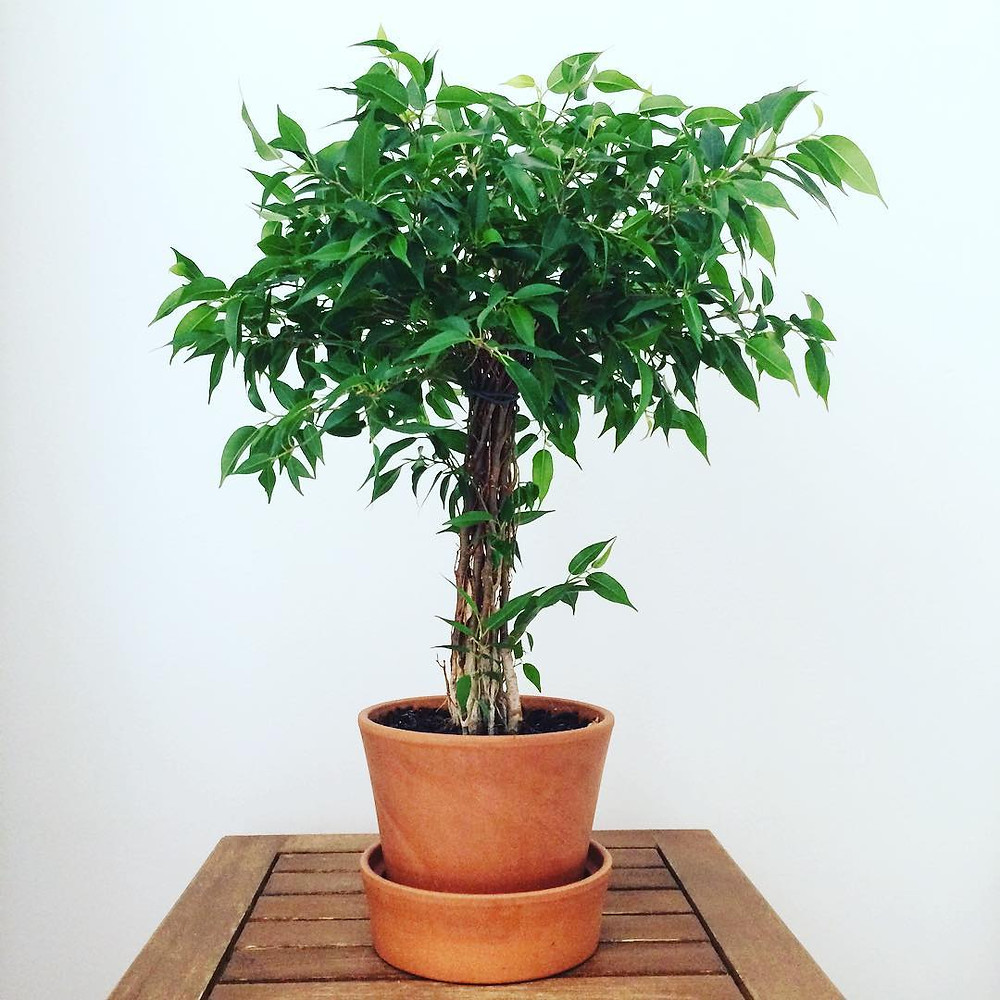 Ficus Benjamina Purifying Houseplants Health