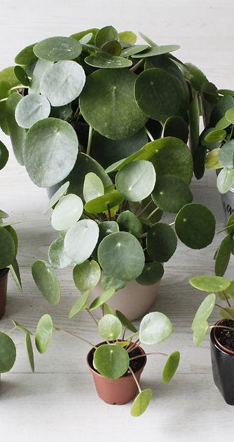 Propagation Tips | The Pass It On Plant | Pilea com
