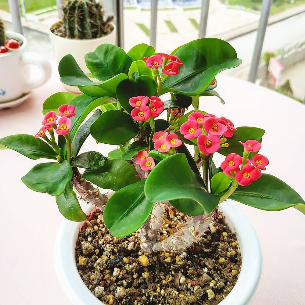 The Crown of Thorns Low-Maintenance Houseplants You Can Easily Grow