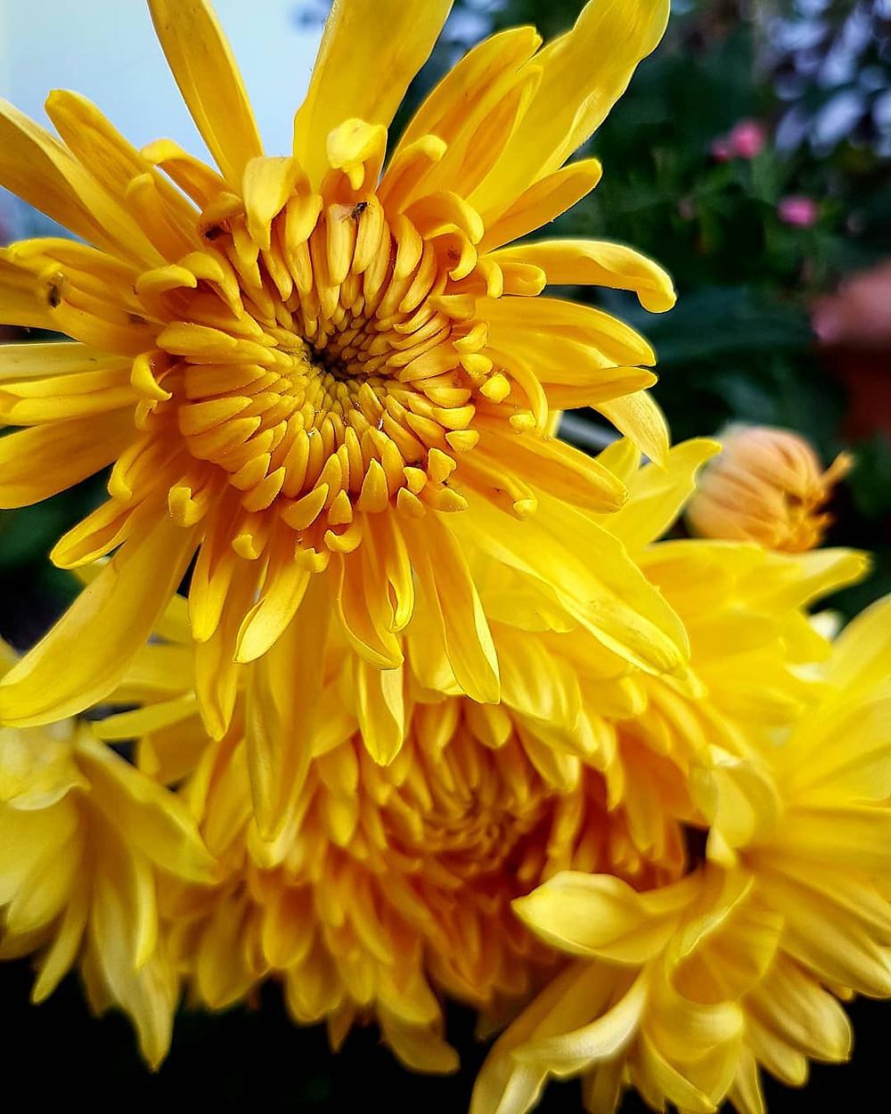 Chrysanthemum Healthy Home Air Purifying Houseplants