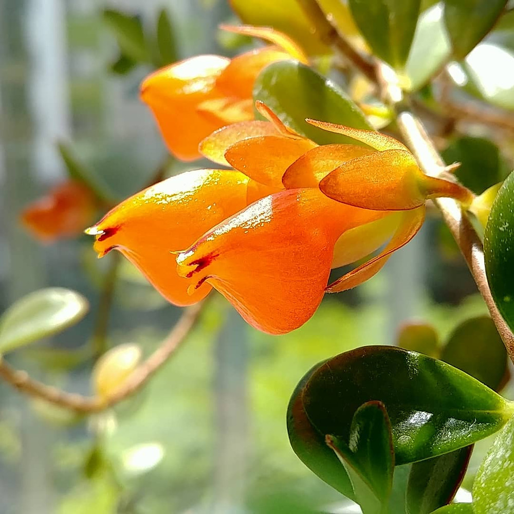Guppy Plant Goldfish Plant Stunning Flowering Indoor Plants Blooming Bloom Flowers