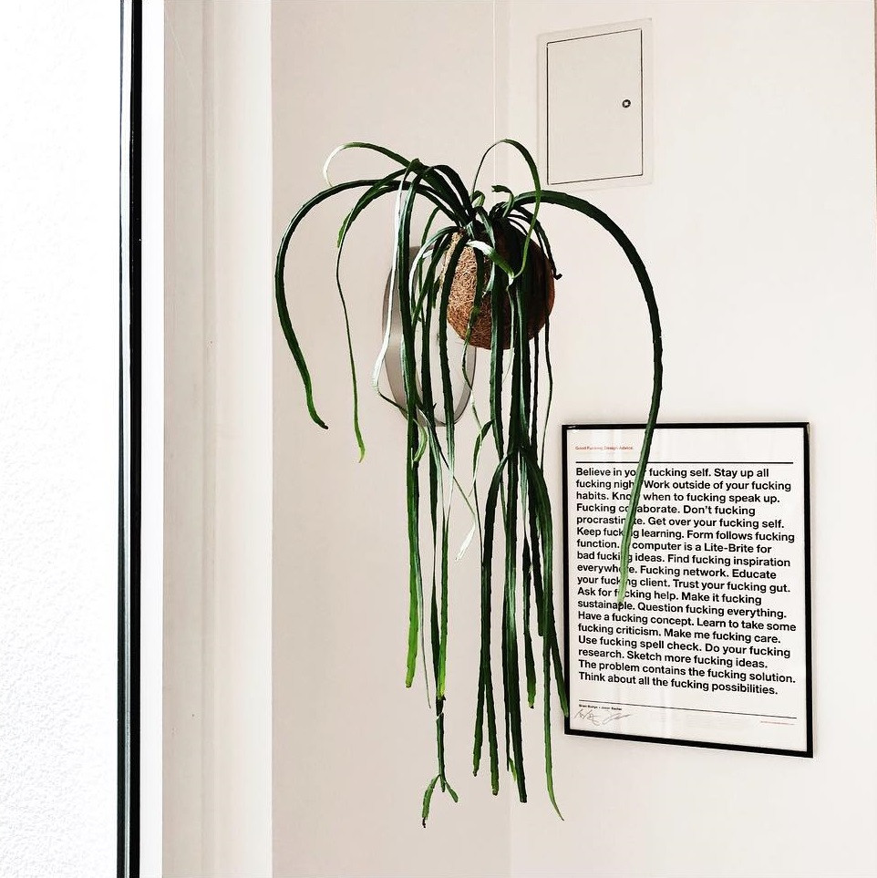 Lepismium Bolivianum Trailing Plants Hanging Houseplants