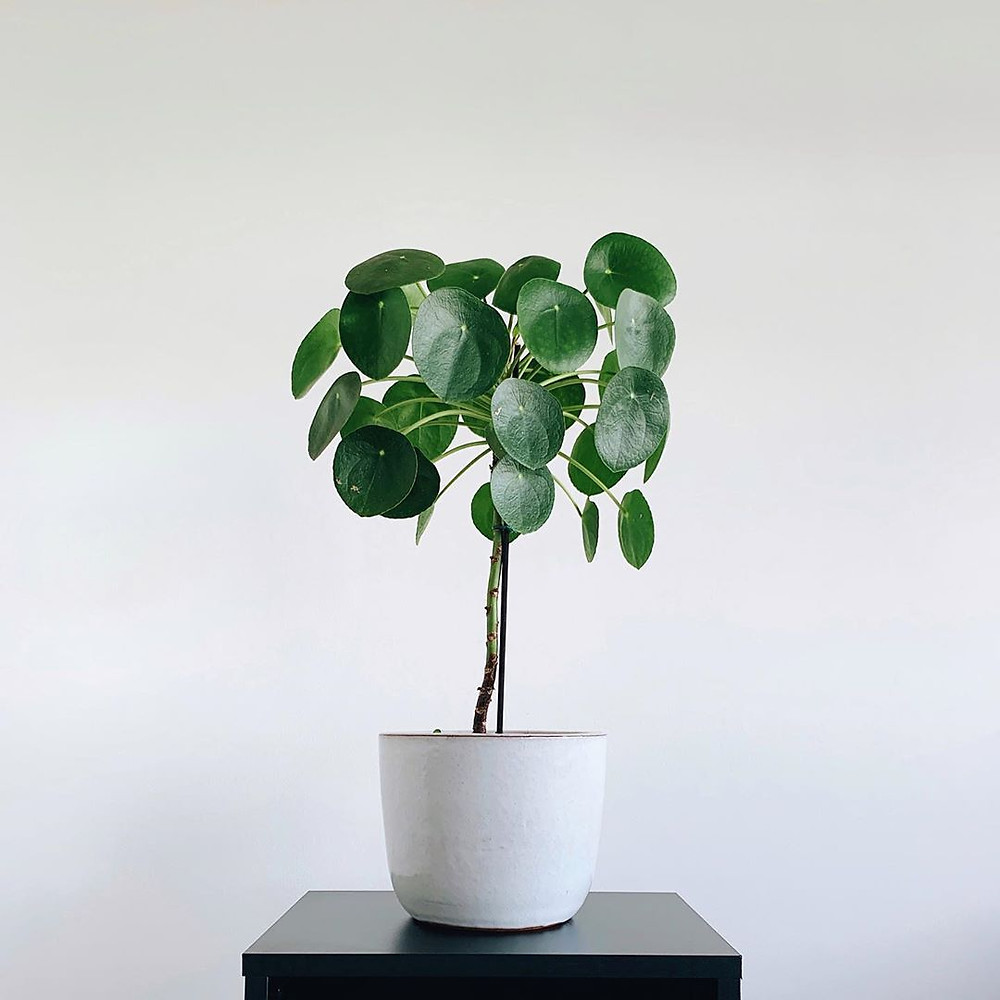 Pilea Peperomioides Houseplants That Are Safe For Cats And Dogs