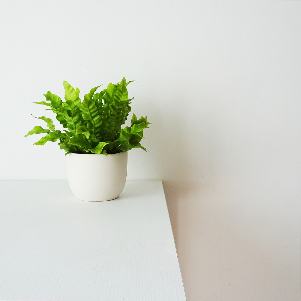 Crispy Wave small plants great for bathrooms