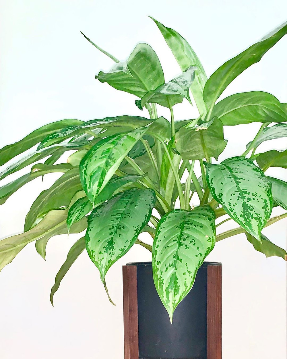 Chinese Evergreen Healthy Home Air Purifying Houseplants