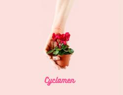 Mini Cyclamen