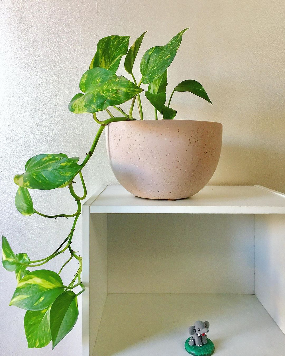 Golden Pothos Quick Fast Growing Houseplant