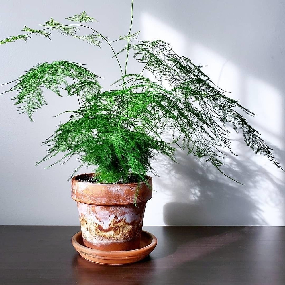 Asparagus Fern Houseplants That Are Safe For Cats And Dogs