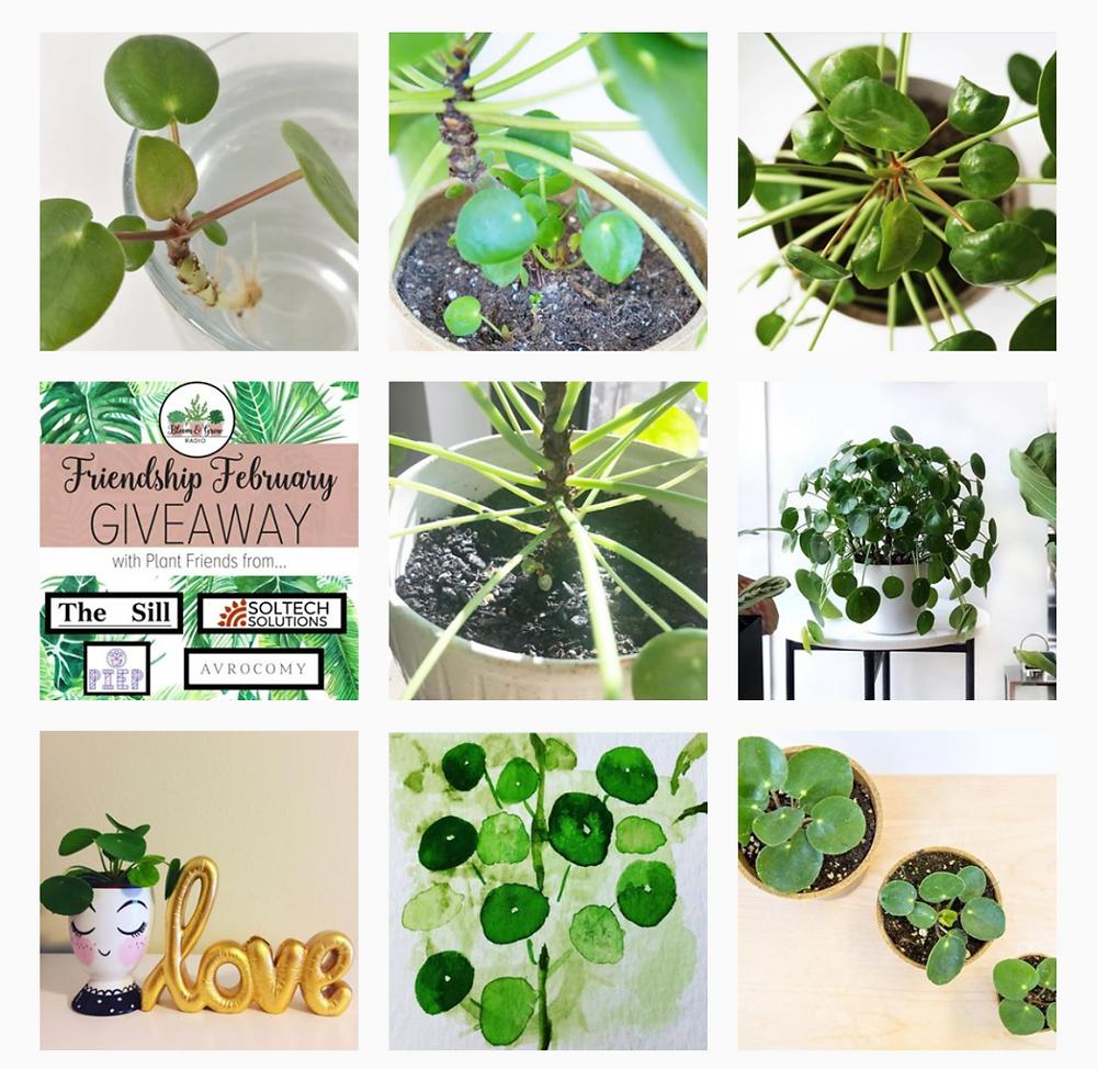 Pilea Peperomioides Instagram Profile pilea.lovers