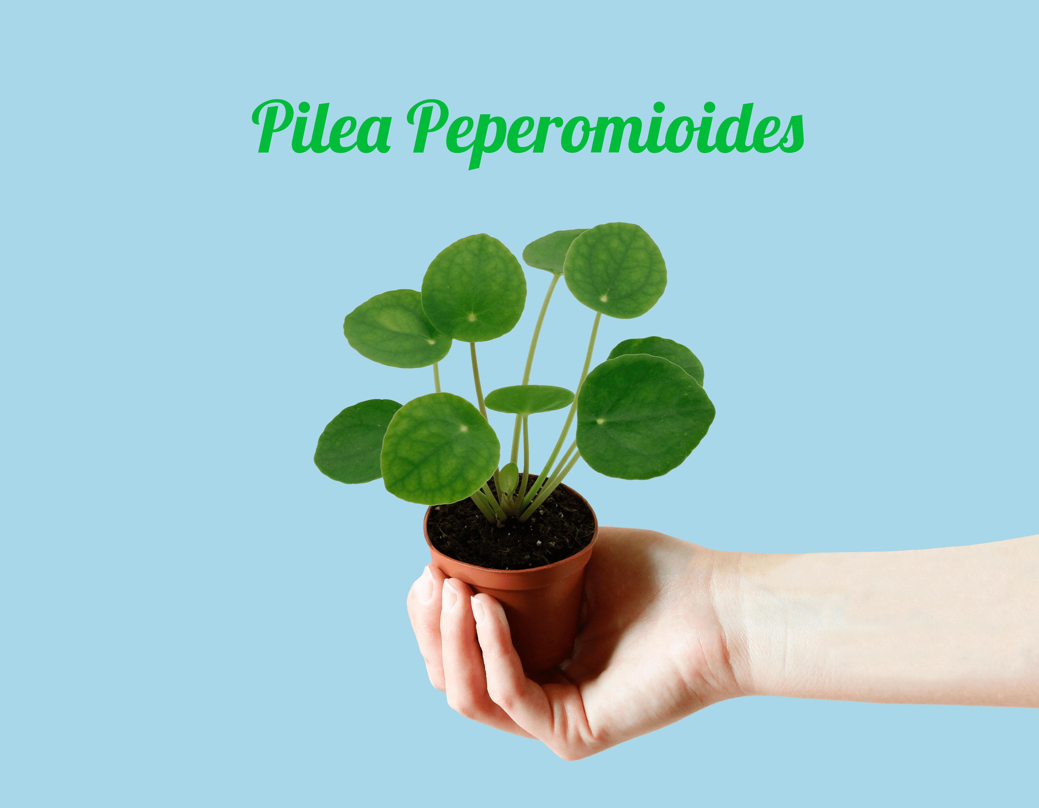Mini Pilea Peperomioides