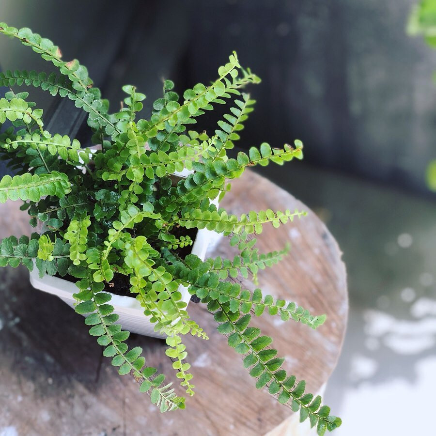Lemon Button Fern Beautiful Ferns You Can Grow In Your House