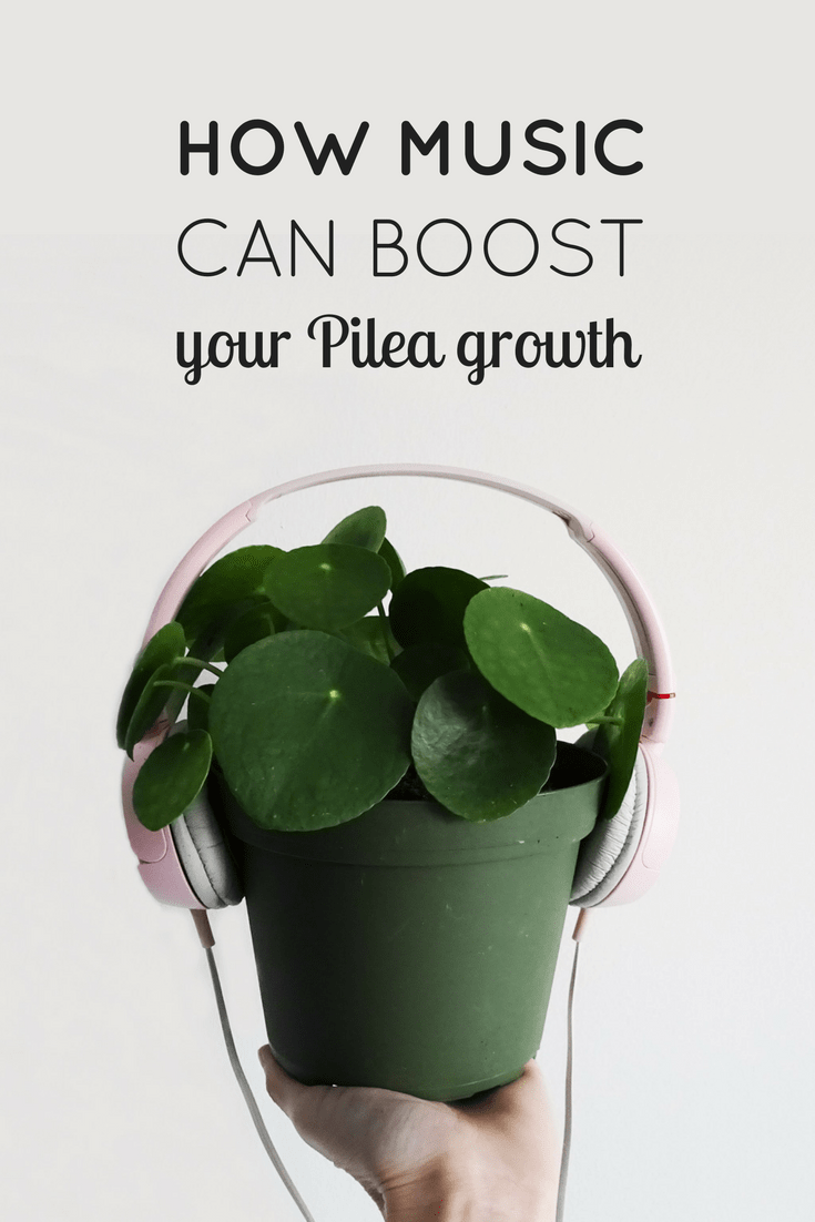 Music Boost Pilea Peperomioides Plants
