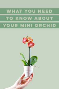 Mini orchids care tips advice tutorial