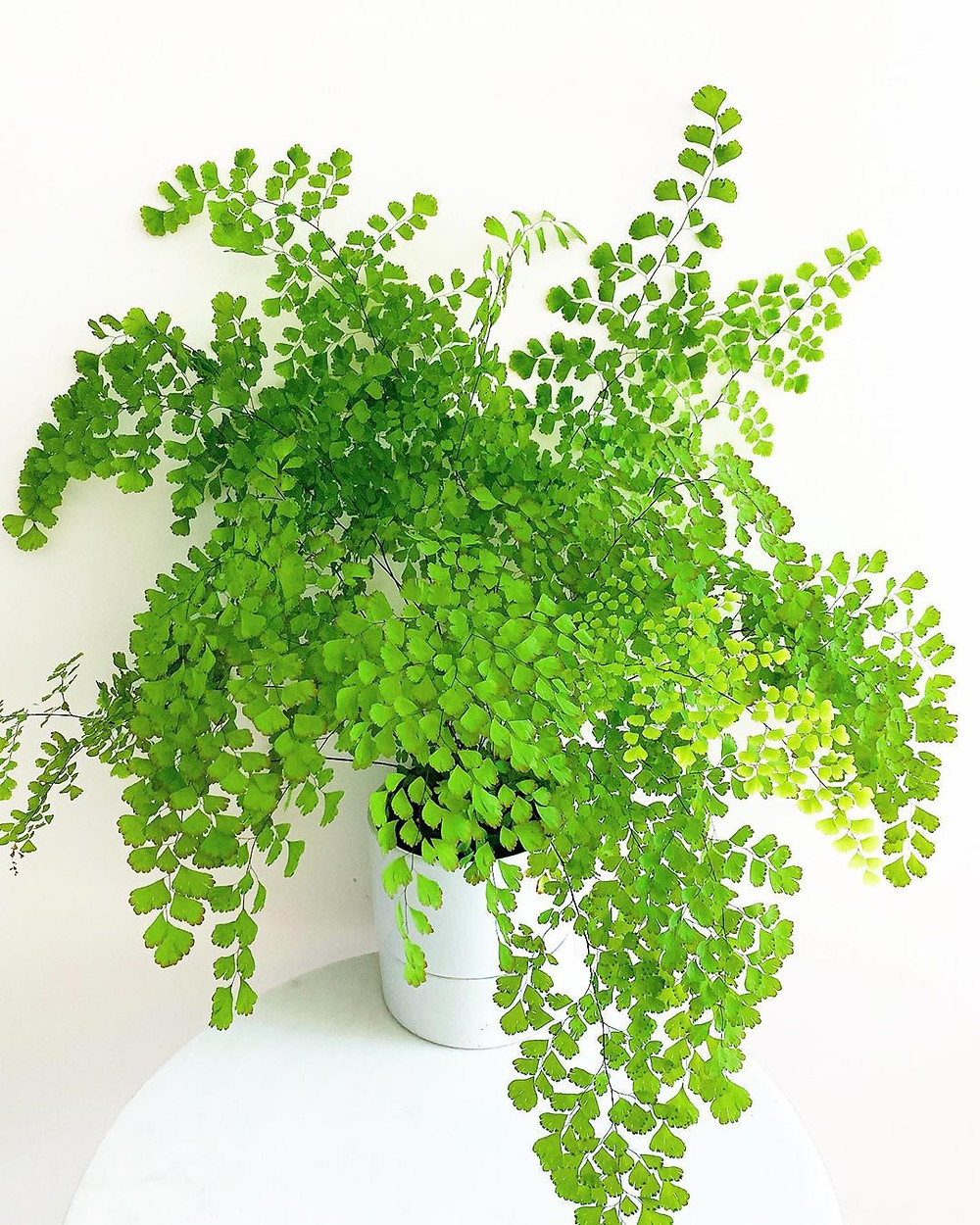 Maidenhair Fern Low-Light Houseplants Perfect For Dark Rooms