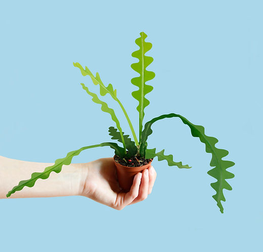 Fishbone Cactus.jpg