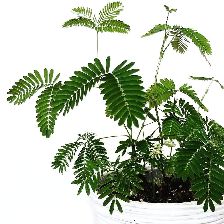 Mimosa Pudica Hard To Kill Houseplants