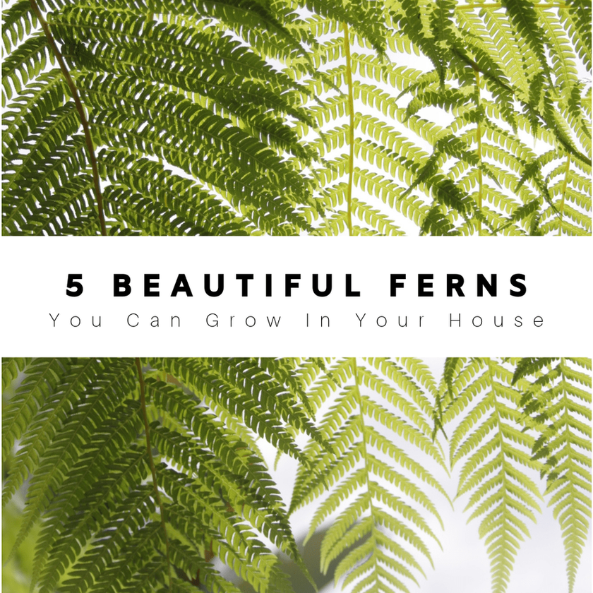 5 Beautiful Ferns You Can Grow In Your House
