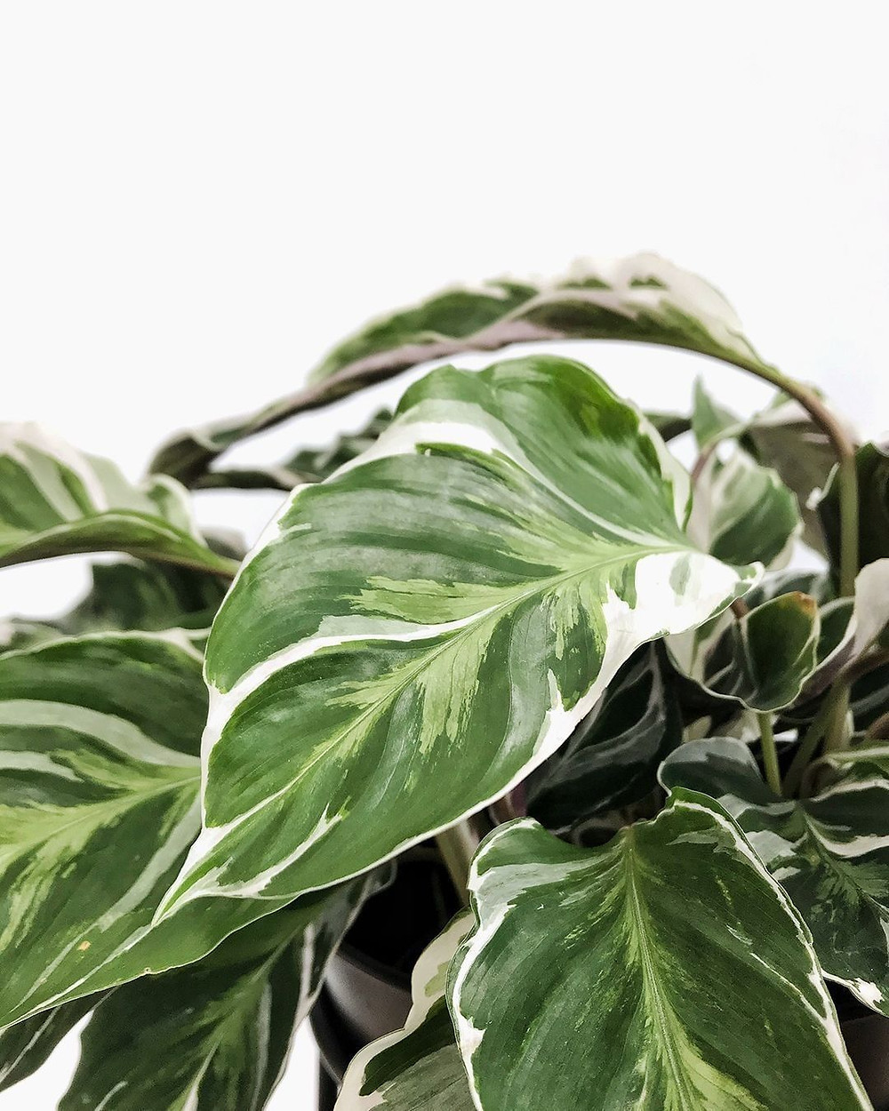 Calathea Houseplants That Are Safe For Cats And Dogs