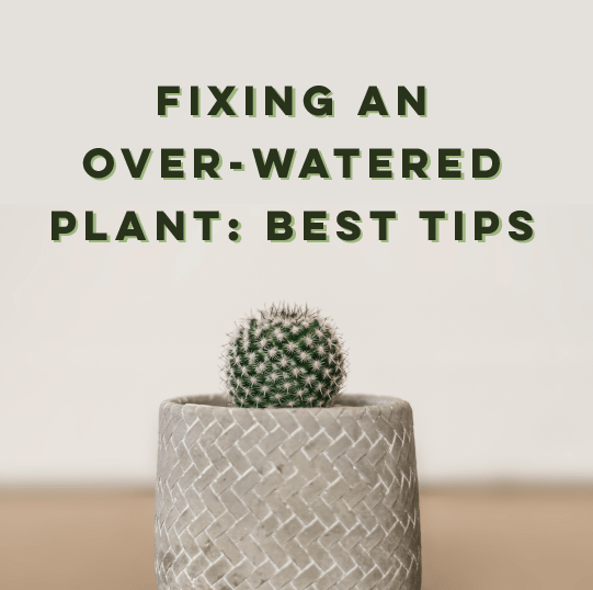 Fixing An Overwatered Plant: A Step-By-Step Guide