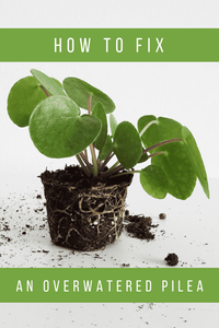 How To Fix An Overwatered Pilea