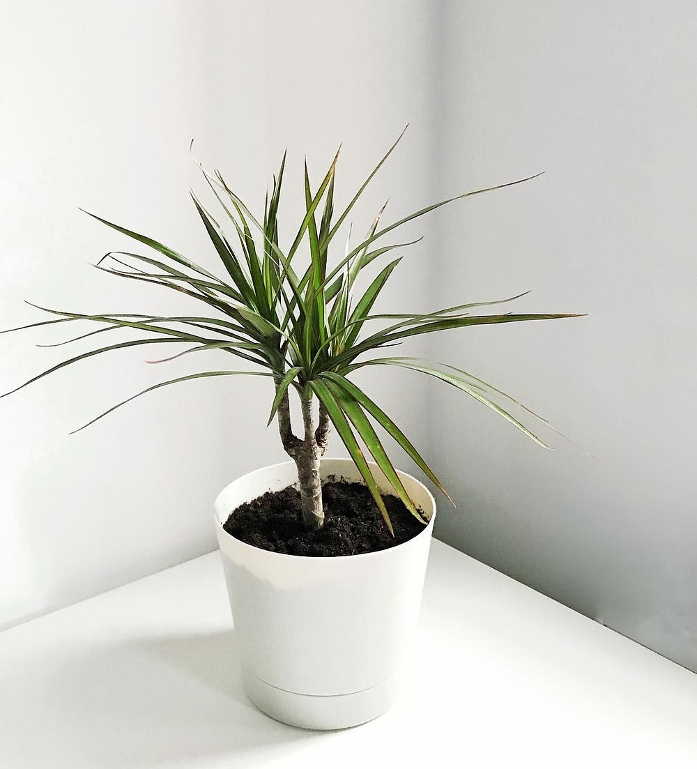 Low Ligh Houseplant Dracaena