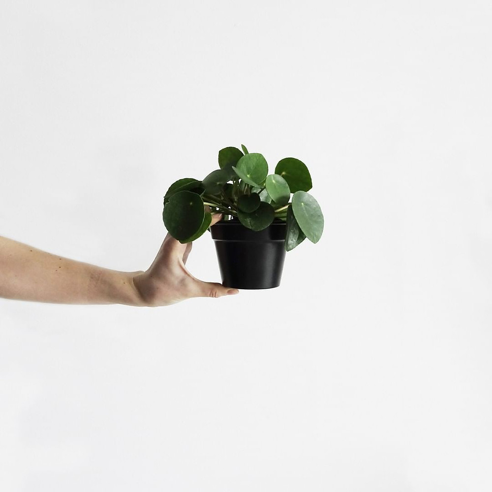 Pilea Peperomioides Small Plant Small Spaces Apartment Living