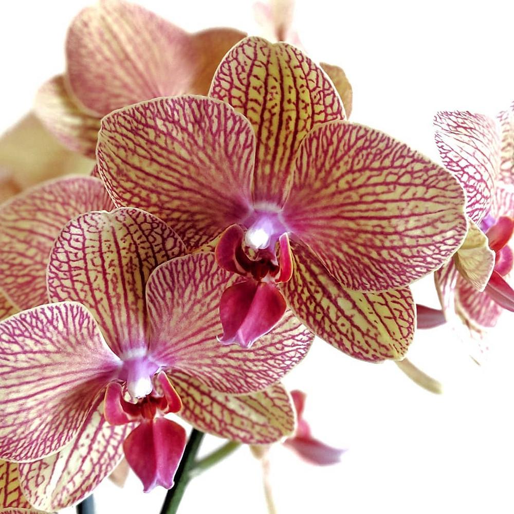 Moth Orchid Stunning Flowering Indoor Plants Blooming Bloom Flowers