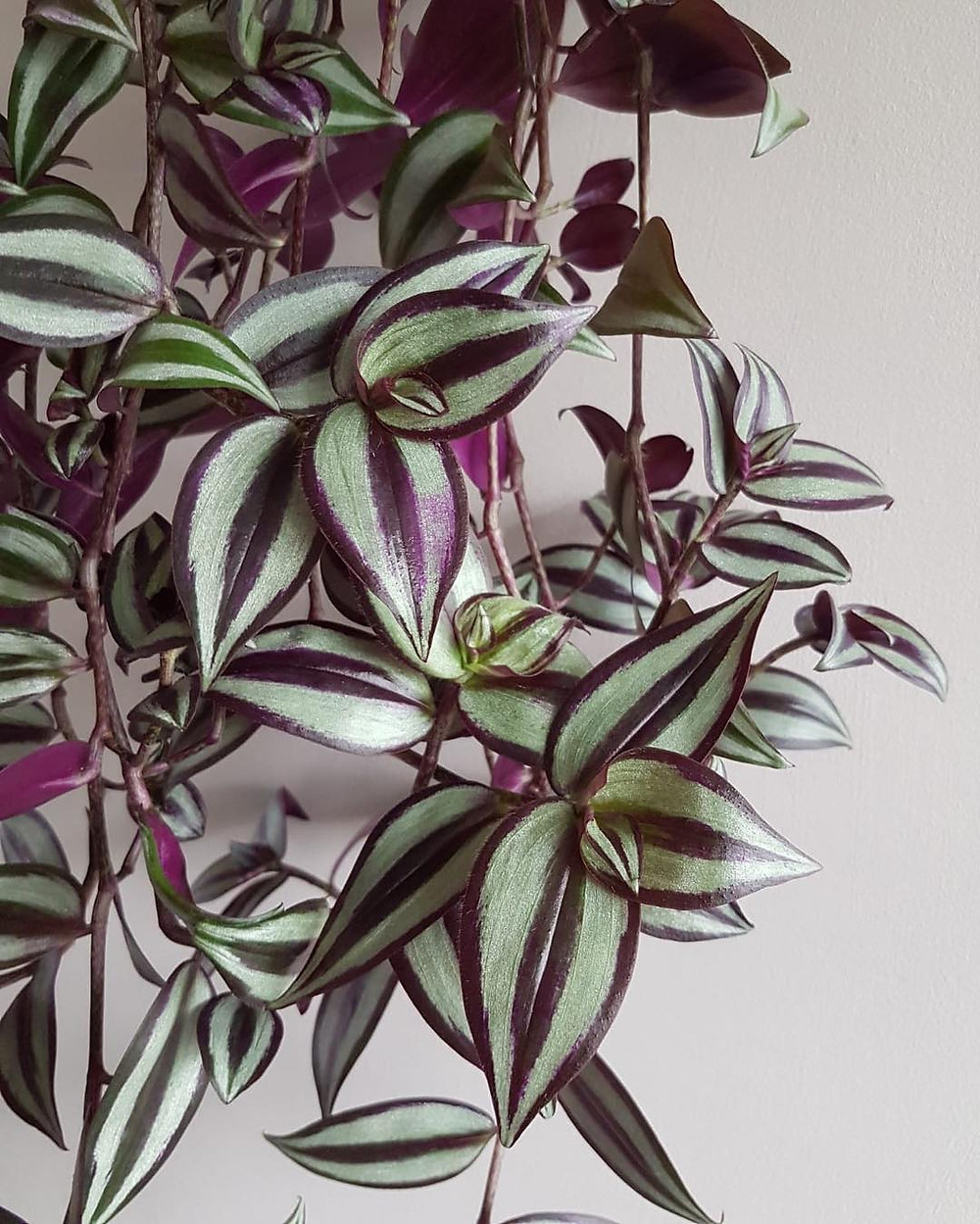 Wandering Jew Houseplants You Can Propagate From Cuttings
