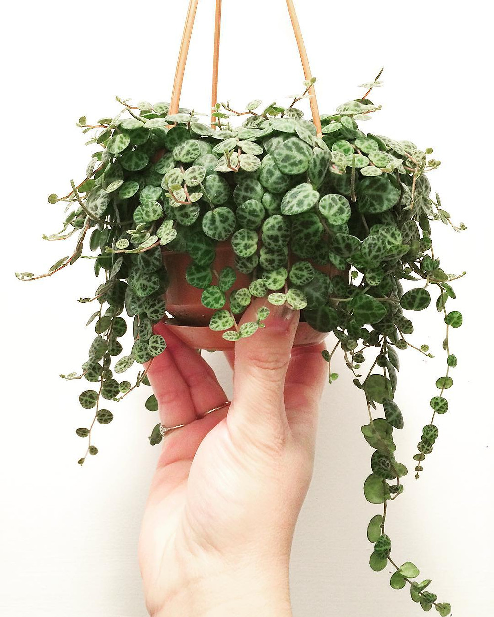 Peperomia prostrata hanging houseplants trailing plants