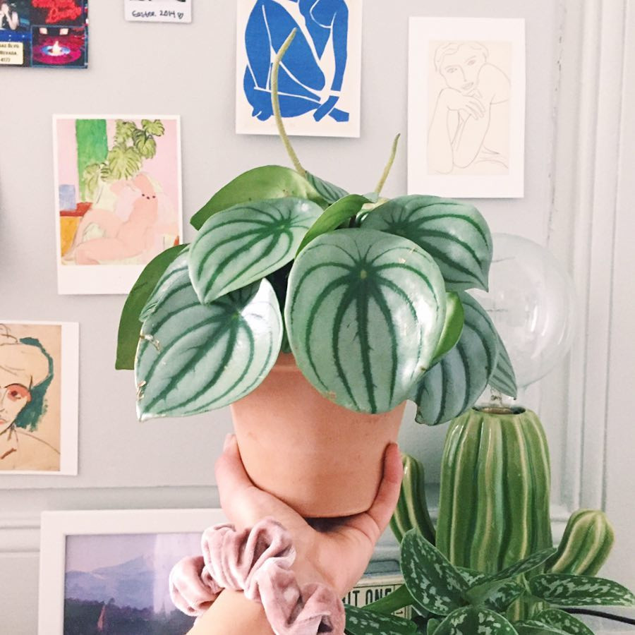 Peperomia Watermelon Cute Tiny Plants For Small Apartments