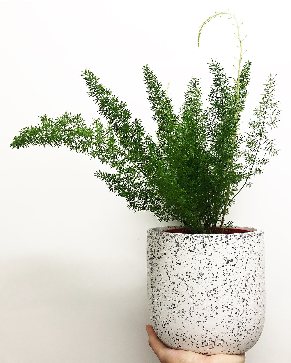 Low Light Houseplant Asparagus Fern