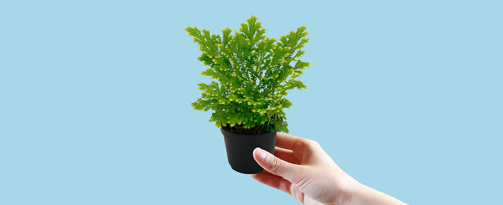 Mini Frosty Fern Care Food Temperature Requirements