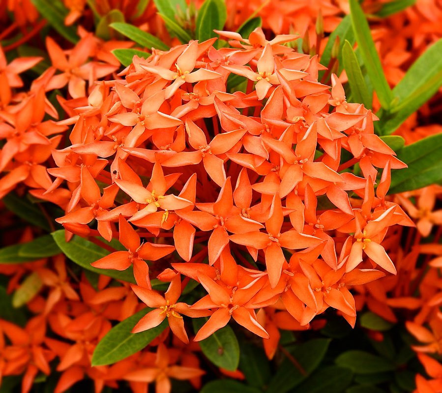 Ixora Stunning Flowering Indoor Plants Blooming Bloom Flowers