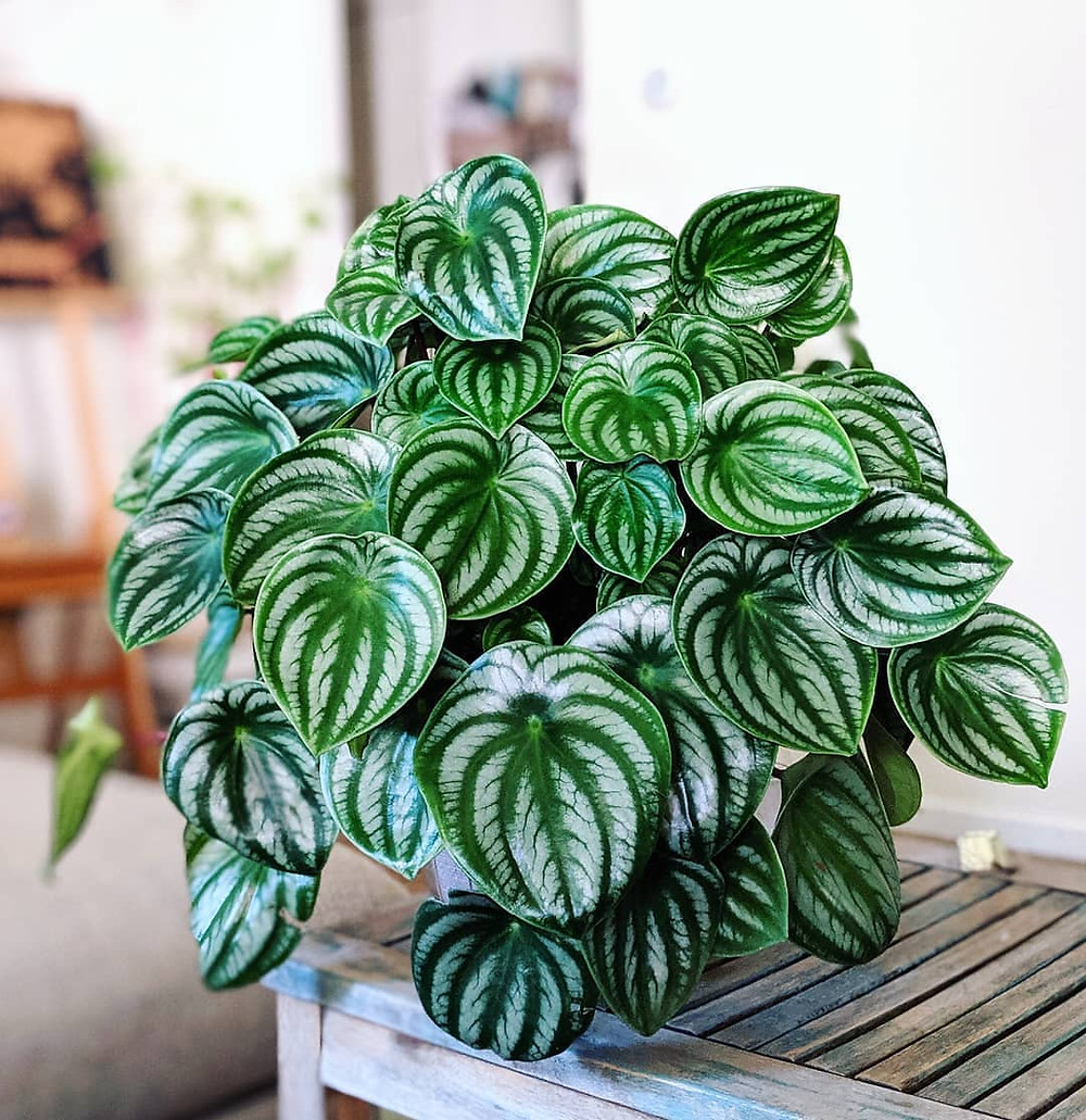 Peperomia Watermelon Variegated Houseplants That Will Add A Touch Of Soul To Your Home