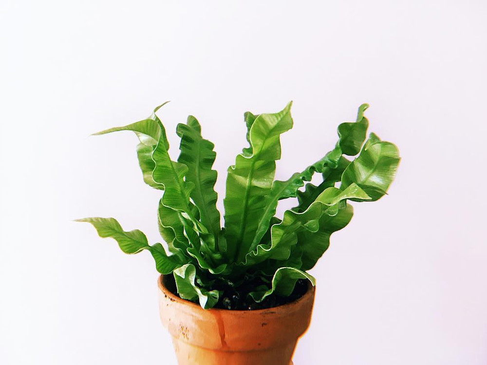 Crispy Wave Japanese Asplenium Nidus Fern Exotic Houseplants