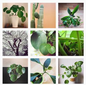 Pilea Peperomioides Instagram Profile iampepepilea