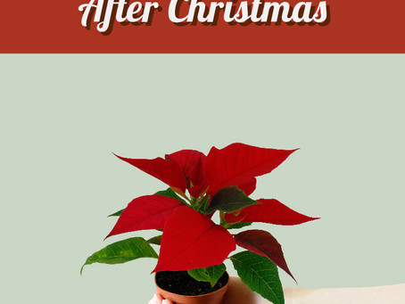 How to Rebloom Your Mini Poinsettia After Christmas