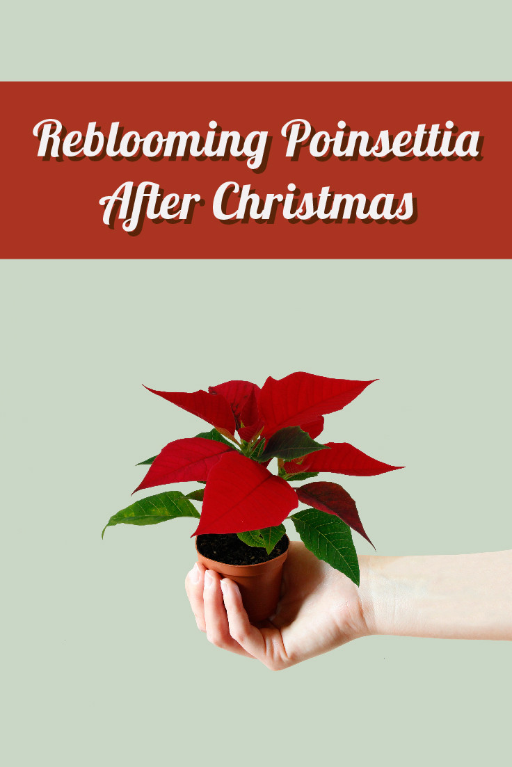 How to Rebloom Mini Poinsettia after Christmas
