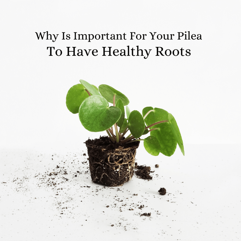 Why Is Important For Your Pilea To Have Healthy Roots