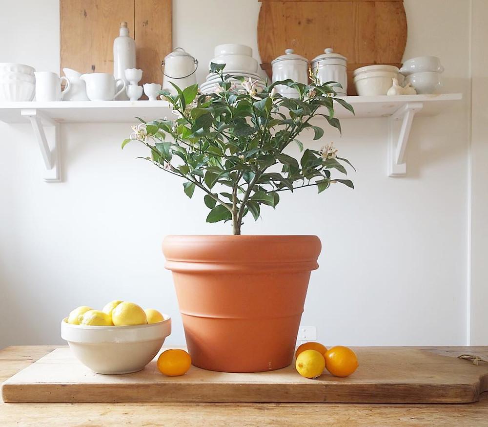 Lemon Tree Healthy Edible Plants That You Can Grow Indoors