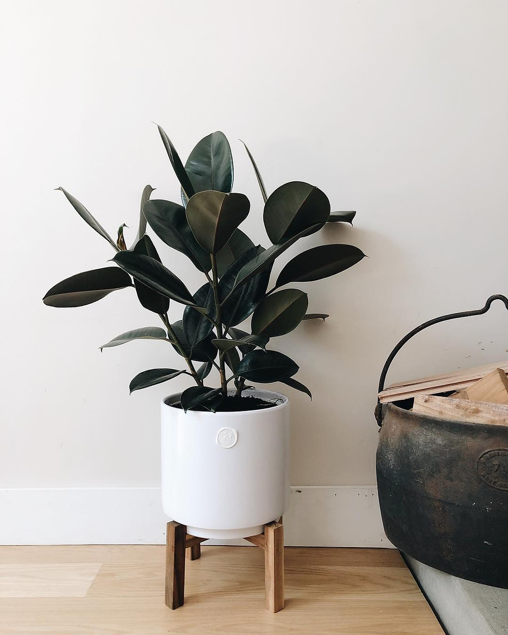 Rubber Plant Plants For Bedroom Sleep