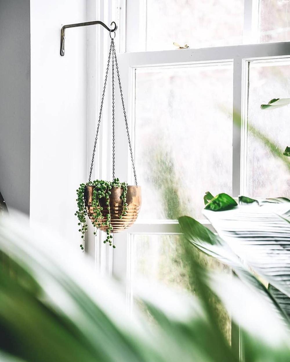 Senecio Rowleyanus String of Pearls Popular Trending Plant 2018