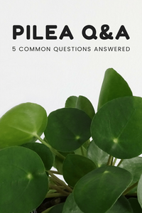 Pilea Q&A Frequent Question FAQ