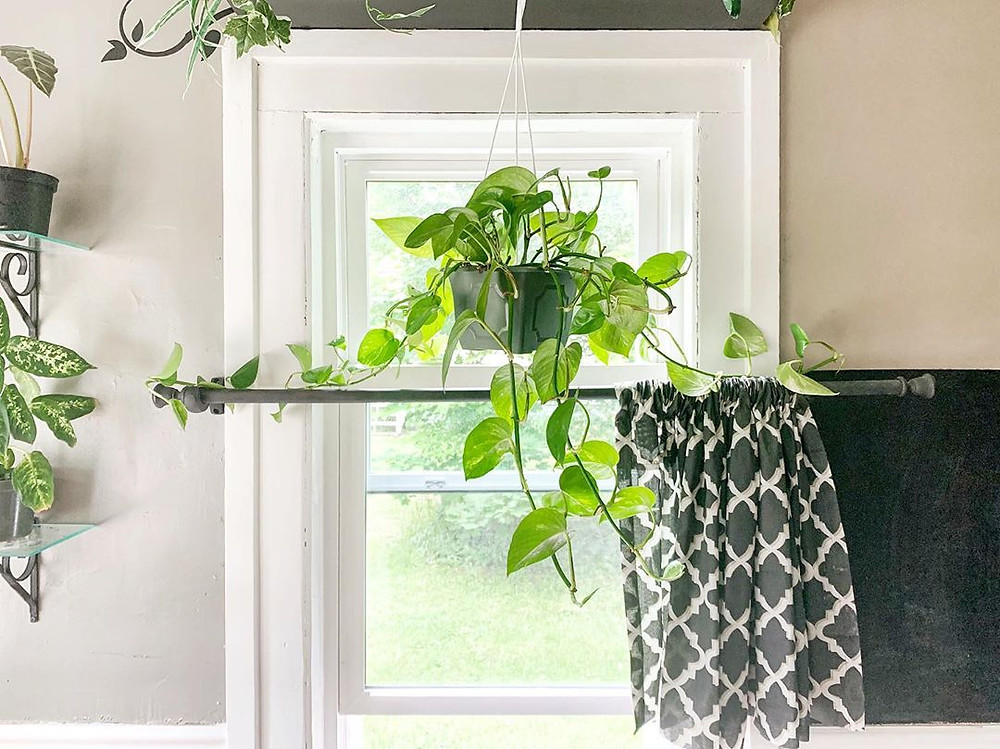 Golden Pothos Easy Houseplants For Beginners Low Maintenance
