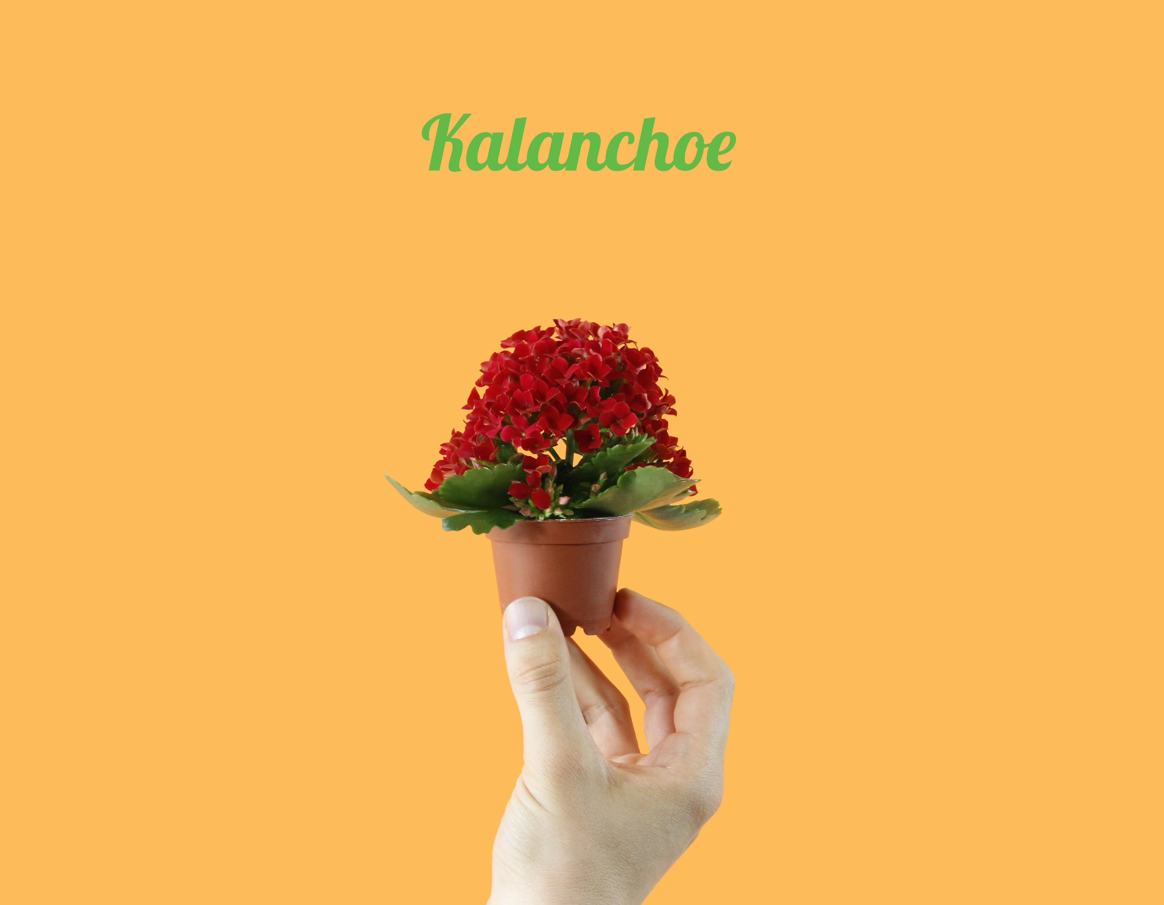 Mini Kalanchoe