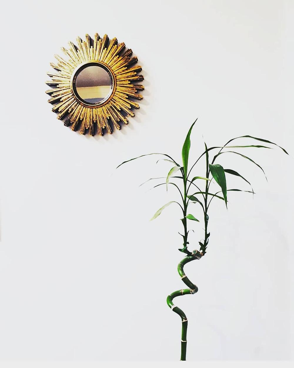 Lucky Bamboo Dracaena sanderiana