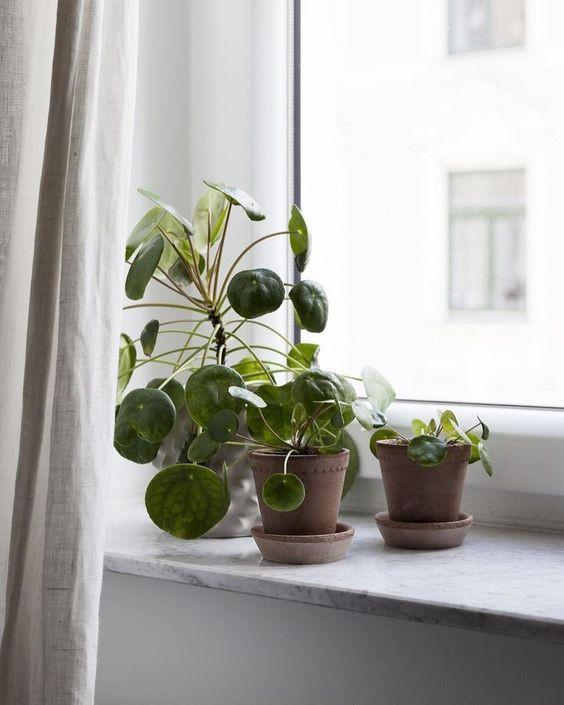 Pilea Peperomioides decor ideas living room windows